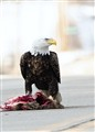 Eagle's lunch time!