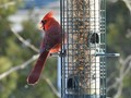 Male Cardinal at Bird Feeder