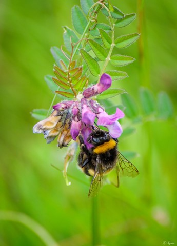 White Tailed Bee on Common Vetch