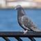 Carl Schurz Pigeon