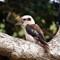 Kookaburra:
