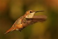 Rufous Flying To Feeder