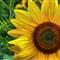 SunflowerFace_edited