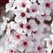 sand_cherry_blossoms-1