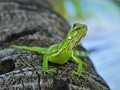 Baby iguana coming down from palm tree