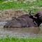 Chobe Buffalo