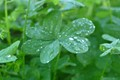 Rain Drops of Cape Sorrel Leaves