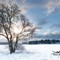 Bare tree in a snow field with early sunrise: Bare tree in a snow field with early morning sunrise sunlight shining through the landscape. Early morning snow scene in Norfolk UK during winter