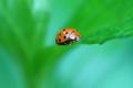 doted ladybird
