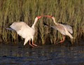 Ibis Battle in the Salt Marsh