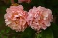 Cornelia roses