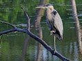 Blue Heron - Indian Pond at SUNY Albany
