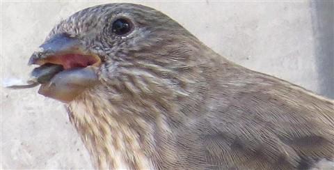 Tim Trzcinski - SX50 - 1200mm full zoom - Backyard birding detail 1