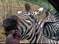 Zebra at Safari Park and Open Zoo, Bo Phloi, Kanchanaburi, Thailand