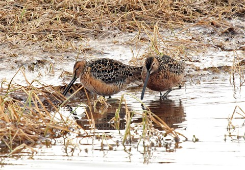 Long-billed Dowitcher, St. Lawrence Island, AK
