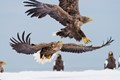 Golden eagles in Rause Japan