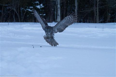Great Grey Owl - 2013-02-09 - 2 - pre-process