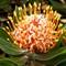 Protea - Maui