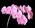 Pink Orchid Stem