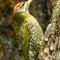 Scale bellied woodpecker
