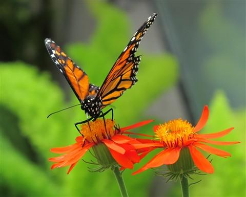 Monarch1_00054
