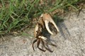 Heavy handed crab