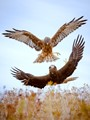 Kahu-New Zealand Harrier Hawk