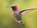 Spring Brings Out Anna's Hummingbird