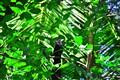 crow_pheasant