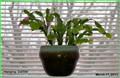 hangingcactus