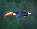 Toucan In The Wild