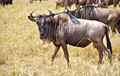 W is for Wildebeest