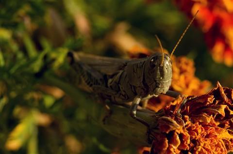 Small Locust