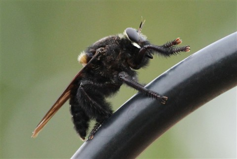 Mr. Robber Fly