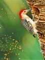 woodpecker_4667