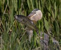 The Greatblue Heron with really large Bass