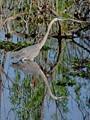 Great Blue Heron (Ardea herodias) - Lk Apopka Wildlife Drive, Zellwood, FL, USA - Date taken - 02/20/17, 9:19 AM - Photo ID - DSCF0005 - Camera - FinePix X-S1 © 2017