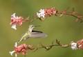 Hammingbird over Glossy Abelia