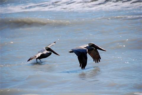 Pelicans at Sanibel  Island
