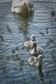 curious little swans, please view @ full resolution, FOVEON powered