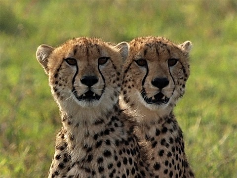 cheetah cubs_dp