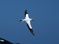 Gannet in the Sky