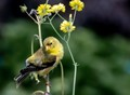 Young American Goldfinch giving its bes pose for the camera.