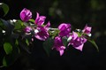 Backlit Bougainvillea