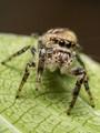 Jumping Spider (Eris militaris)