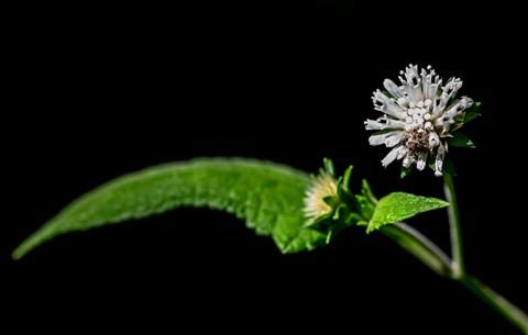 Snow squarestem, cat's tongue, salt and pepper, pineland squarestem, snow melanthera, or yerba de cabra in Spanish (Melanthera nivea - Asteraceae)