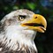 DGB_7551_Bald Eagle