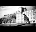 Paris and the Pigeon...