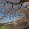 熊本城桜08panoDPR
