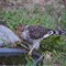 Cooper's Hawk (juvenile) bird_hawk_20111016_007